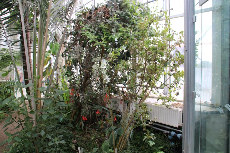 Arnaldoa argentea в ботаническом саду г. Орхус / Aarhus, Дания. Фото 26 июл. 2020
