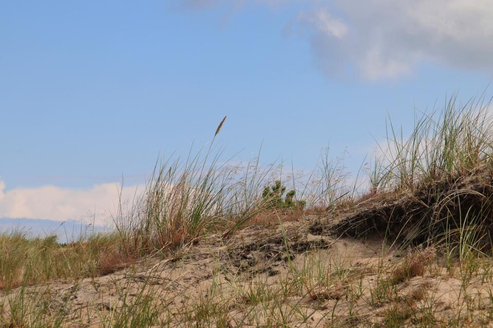 Колосняк песчаный (лат. Leymus arenarius, дат. Marehalm)