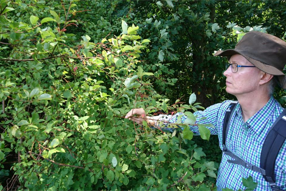 Черемуха поздняя (лат. Prunus serotina, дат. Glansbladet hæg)