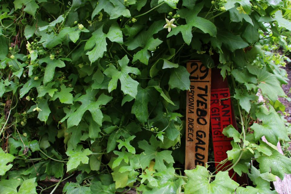 Цветы и листья брионии. Фото 17 июн. 2018, аптекарские огороды