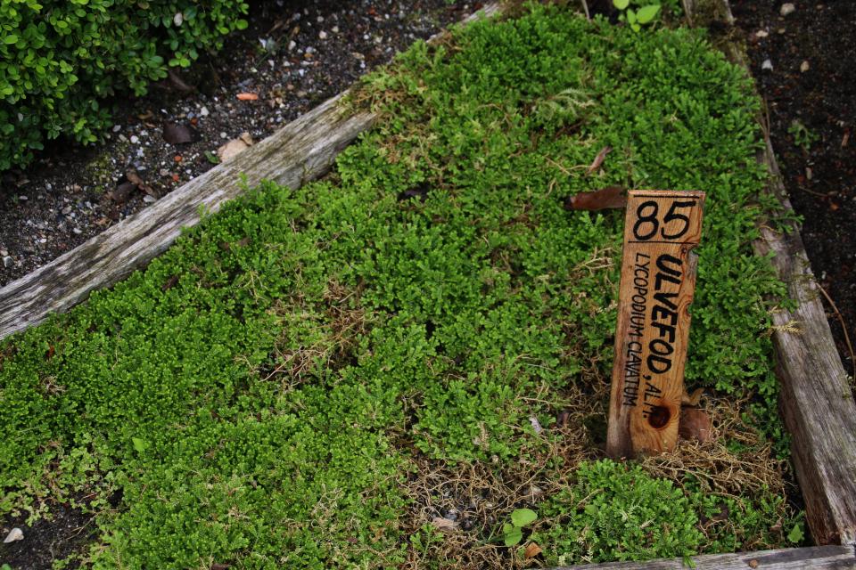 Плаун булавовидный (лат. Lycopodium clavatum, дат. Ulvefod)