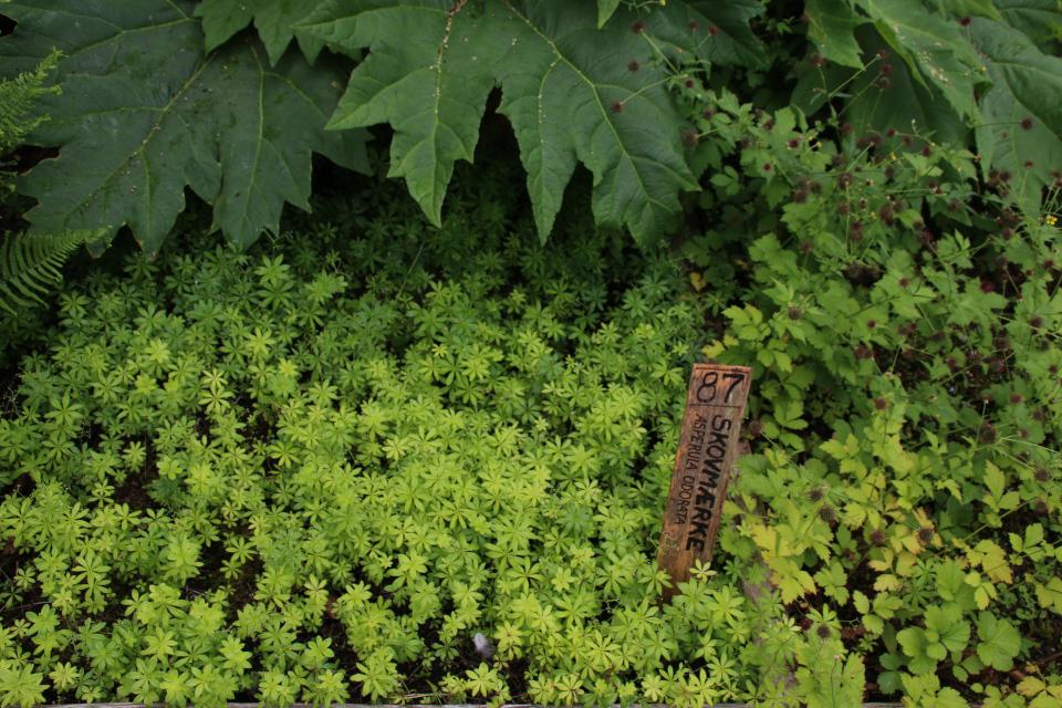 Подмаренник (лат. Asperula odorata, дат. Skovmærke)