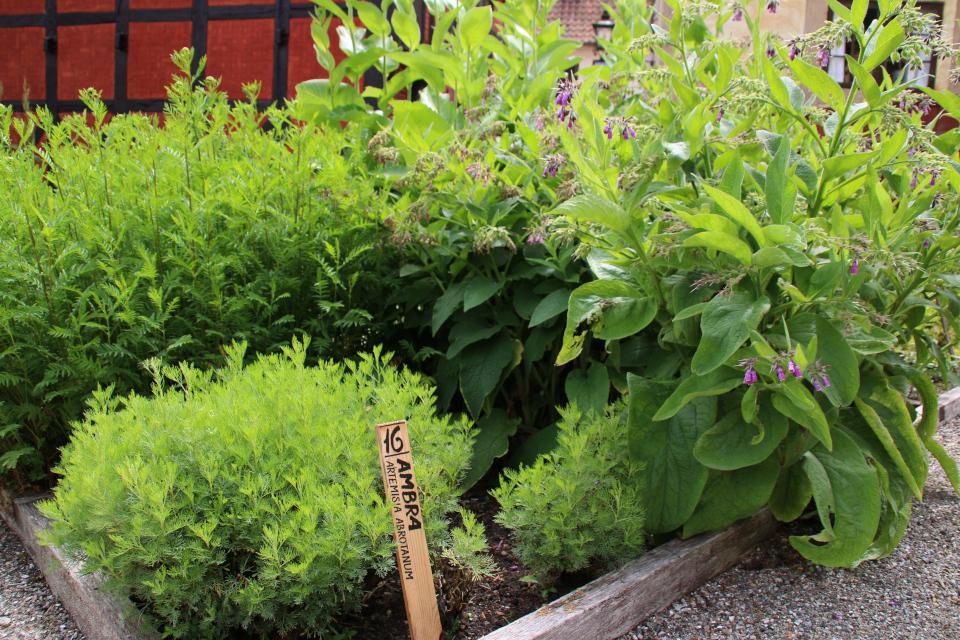 Полынь лечебная (лат. Artemisia abrotanum, дат. Ambra)