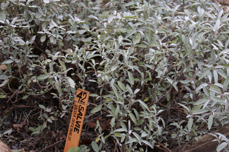 Шалфей лекарственный (лат. Salvia officinalis, дат. Salvie)