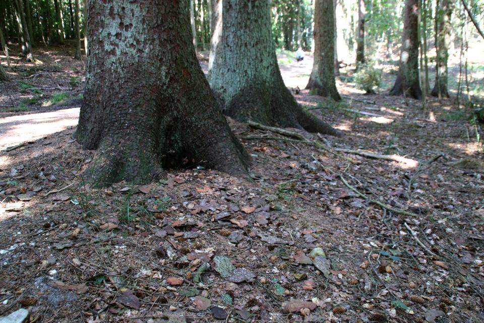 Кора и шишки старой сихтинской ели в лесу Марселисборг, г. Хойбьерг, Дания