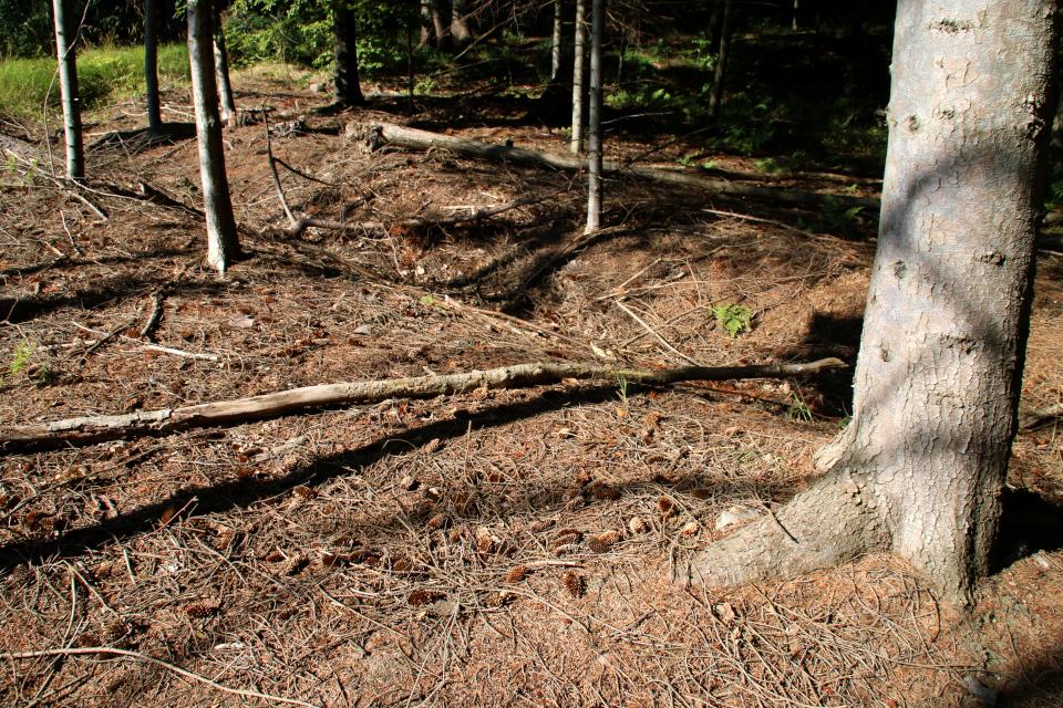 Дренажные канавы в лесопосадках с ситхинскими елями