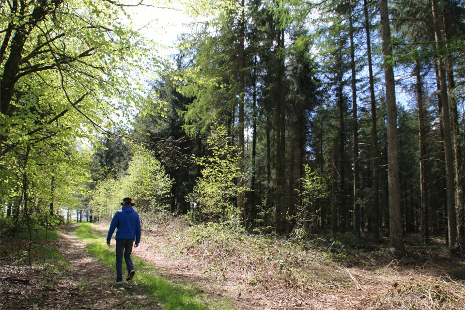 Плантация с елями ситхинскими справа, слева - лиственные деревья буки