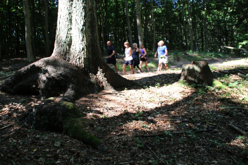 Ситхинская ель с огромными корнями, выступающими на поверхность почвы
