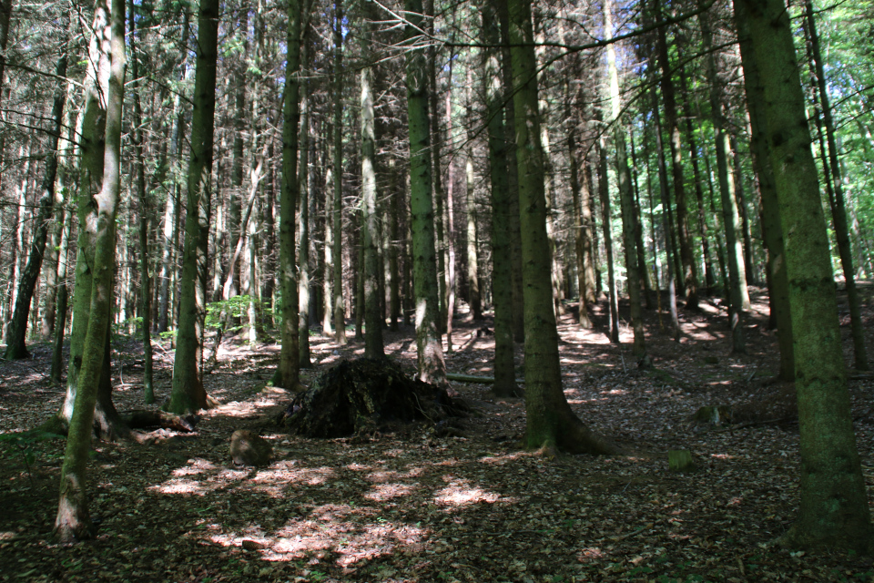 Трухлявый пень старого дуба посреди лесопосадок с елями сихтинскими