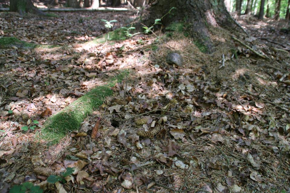 Объединенная шишка сихтинской ели и мышиная норка возле корня старой ели