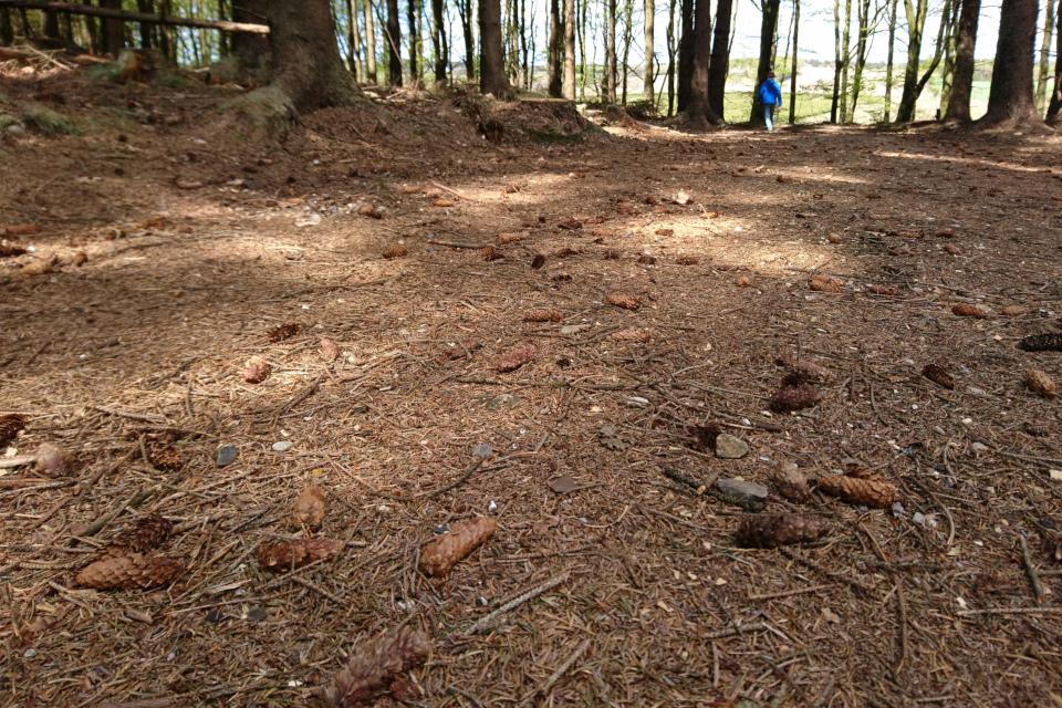 Поверхность почвы с шишками, где срубаются ситхинские ели