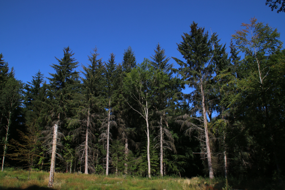 Искусственные посадки сихтинских елей в лесу Марселисборг, г. Хойбьерг, Дания