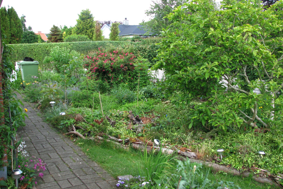Елочка подрастает. Фото 16 июн. 2012, мой сад, г. Хойбьерг / Højbjerg, Дания