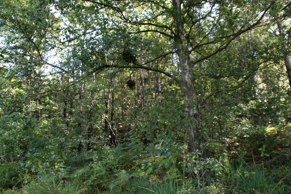Берёзы пушистые (лат. Betula pubescens, дат. dunbirk)