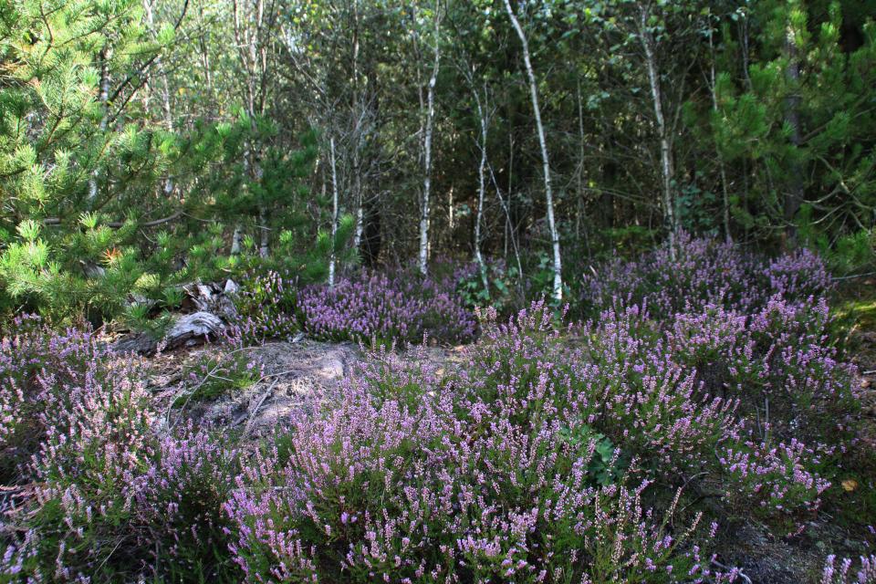 Цветущий вереск в березовом лесу, Дания