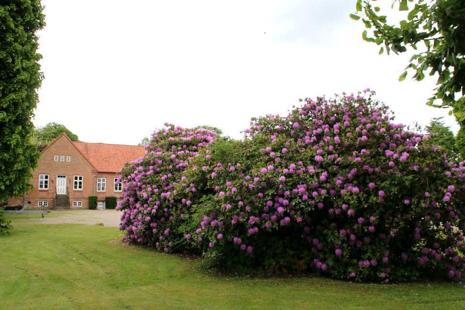 Роскошные кусты рододендронов в цвету