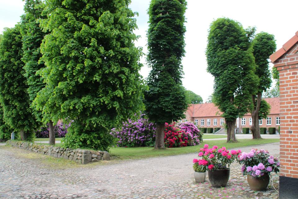 Рододендроны во дворе усадьбы. Фото 7 июн. 2020, Граубалле, Дания