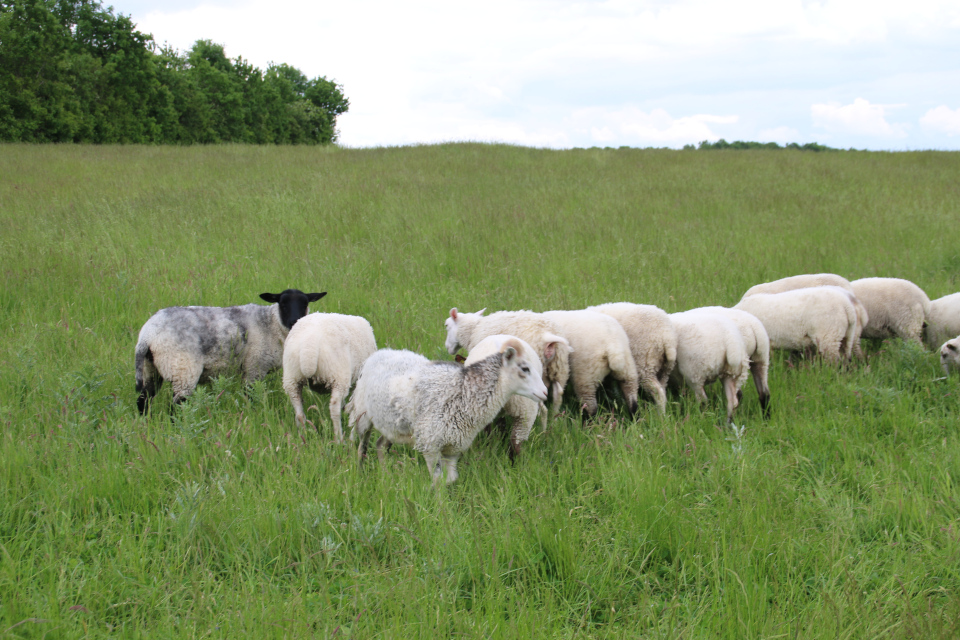 Овцы на лугах окраины города Граубалле. Фото 31 авг. 2017, Дания