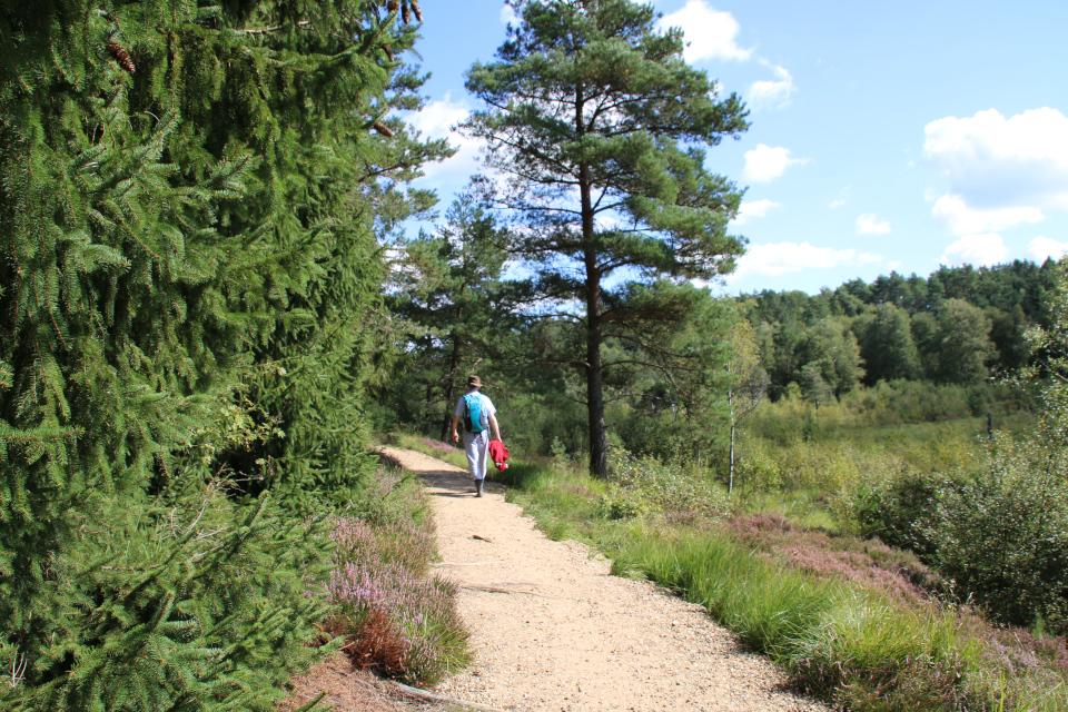 лесопосадки ели обыкновенной (лат. Picea abies, дат. Rødgran)