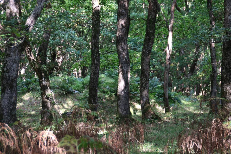 Курган в окружении дубов черешчатых (лат. Quercus robur)