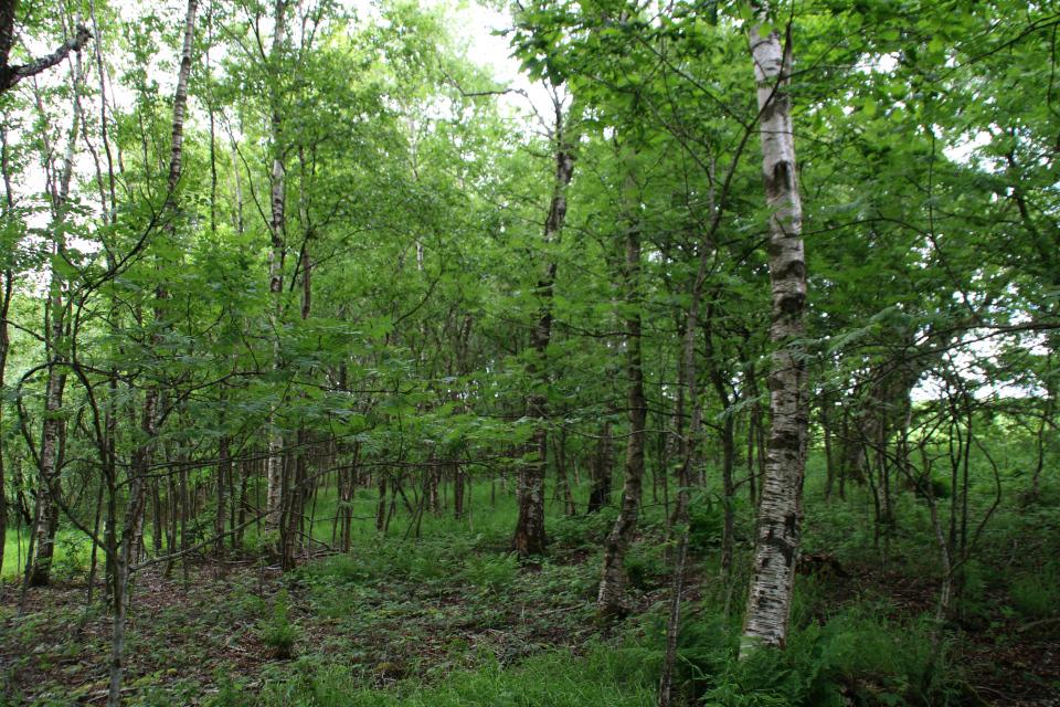 Заболоченный лес с доминированием березы пушистой (лат. Betula pubescens)