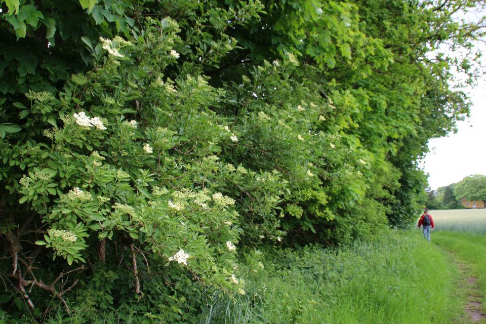 Бузина черная (лат. Sambucus nigra, дат. hyld) на лесной опушке возле поля