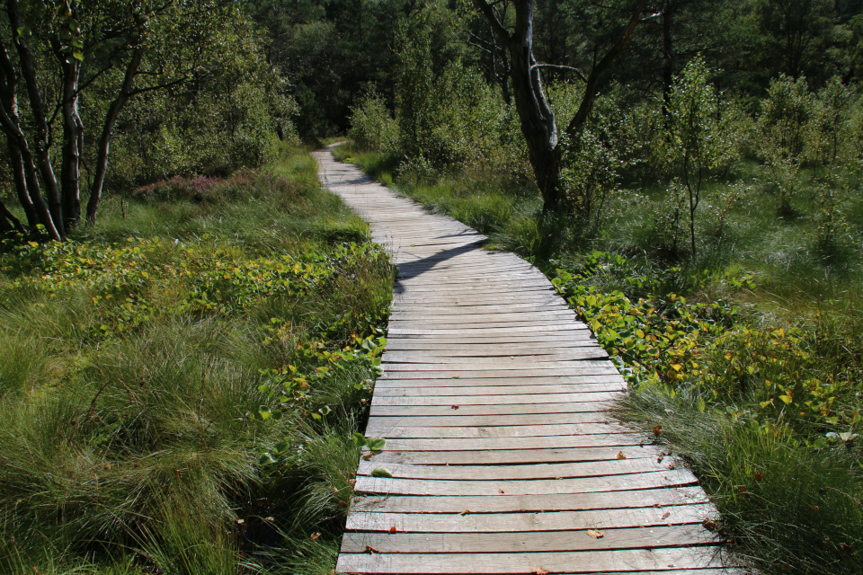 Белокрыльник (лат.Calla palustris, дат. Kærmysse) по обе стороны мостика