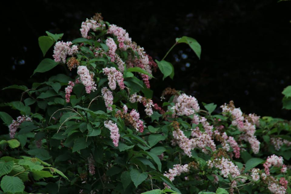 Сирень пониклая (лат. Syringa reflexa, дат. hængesyren) в цвету