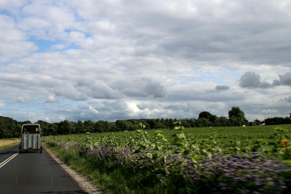 Цветочная полоса из фацелии пижмолистной (дат. honningurt, лат. Phacelia tanacetifolia). Фото 1 авг. 2021, Рандерс, Дания