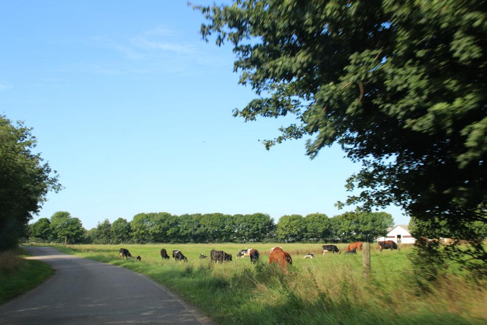 Быки и коровы фермерского хозяйства Эллинглунд (Ellinglund)