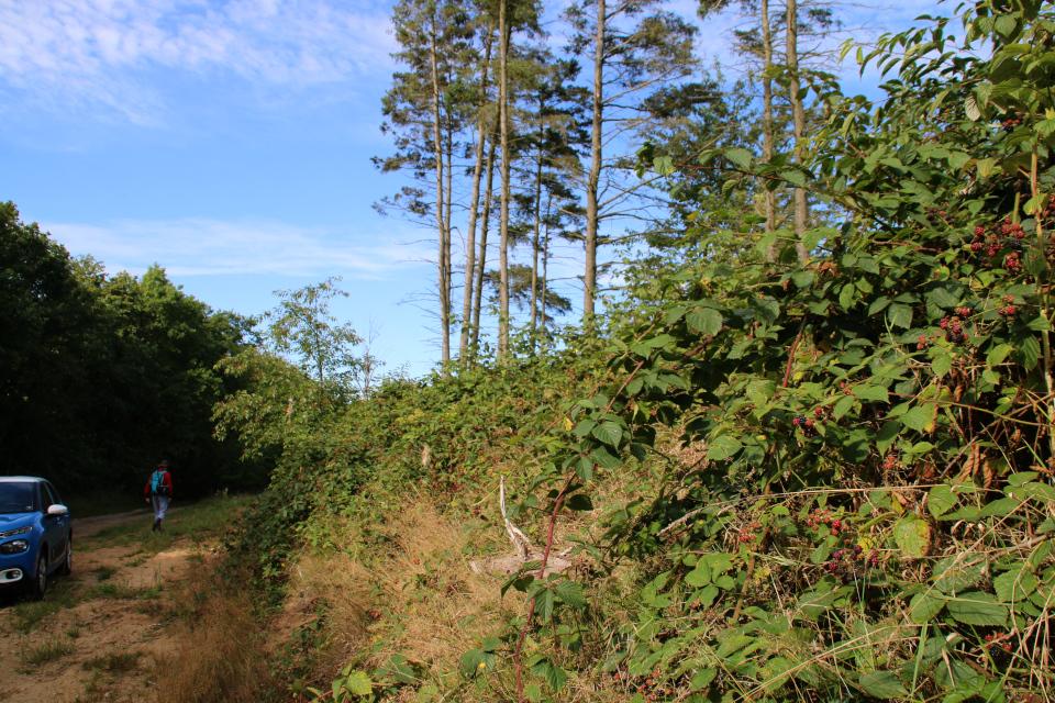 Холм, поросший кустами ежевики (лат. Rubus plicatus, дат. almindelig brombær)