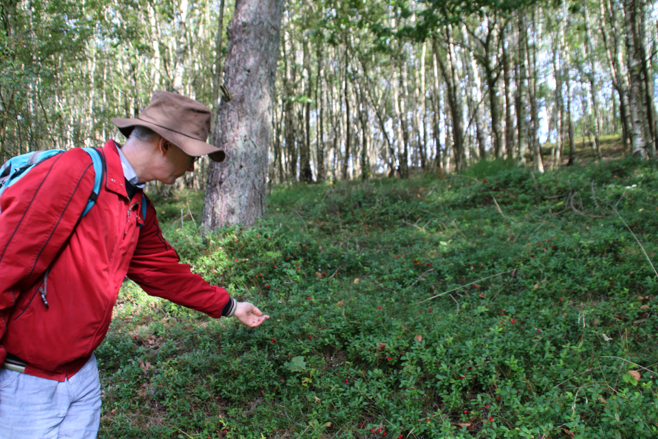 Брусника (лат. Vaccinium vitis-idaea, дат. Tyttebær) в лесу с березами