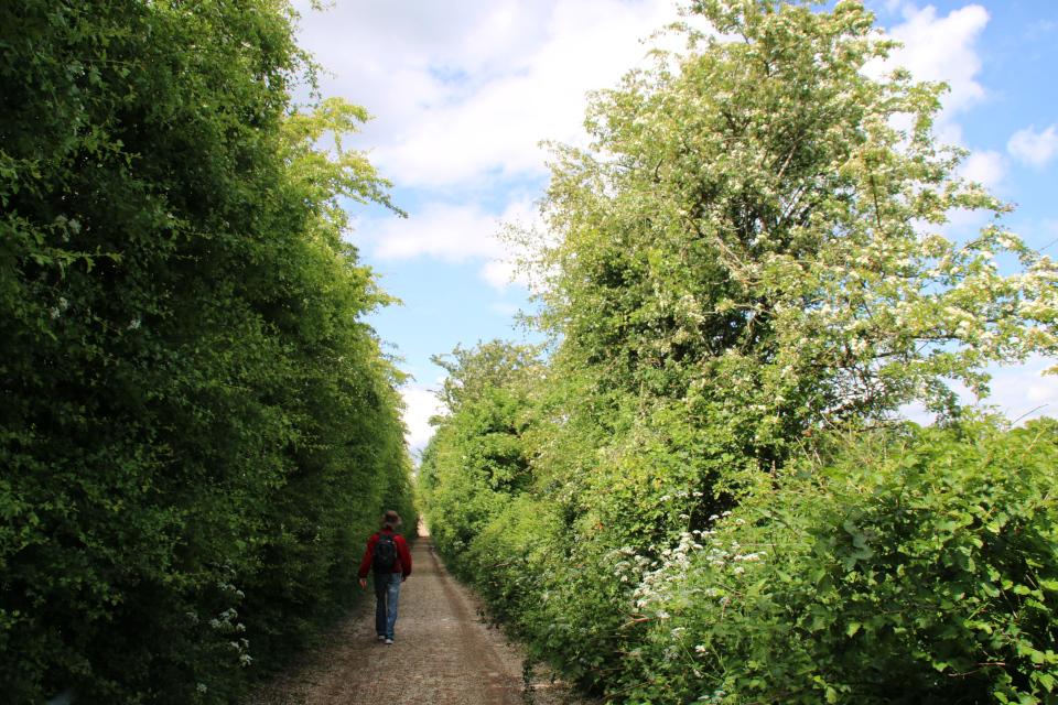 Дорожка, проложенная через лесополосу из боярышника