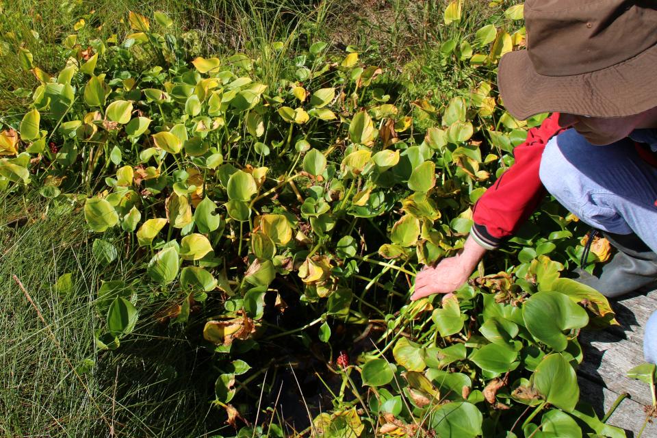Соплодия белокрыльника с красными ягодами, Бьелдсковдал, Дания