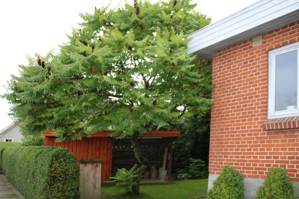 Сумах оленерогий (дат. Hjortetaktræ, лат. Rhus typhina) во дворе частного дома. Граубалле, Дания
