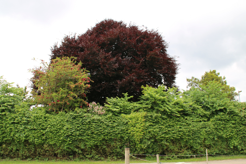 Бук (лат. fagus sylvatica purpurea, дат. Rødbøg) с темно-красной листвой