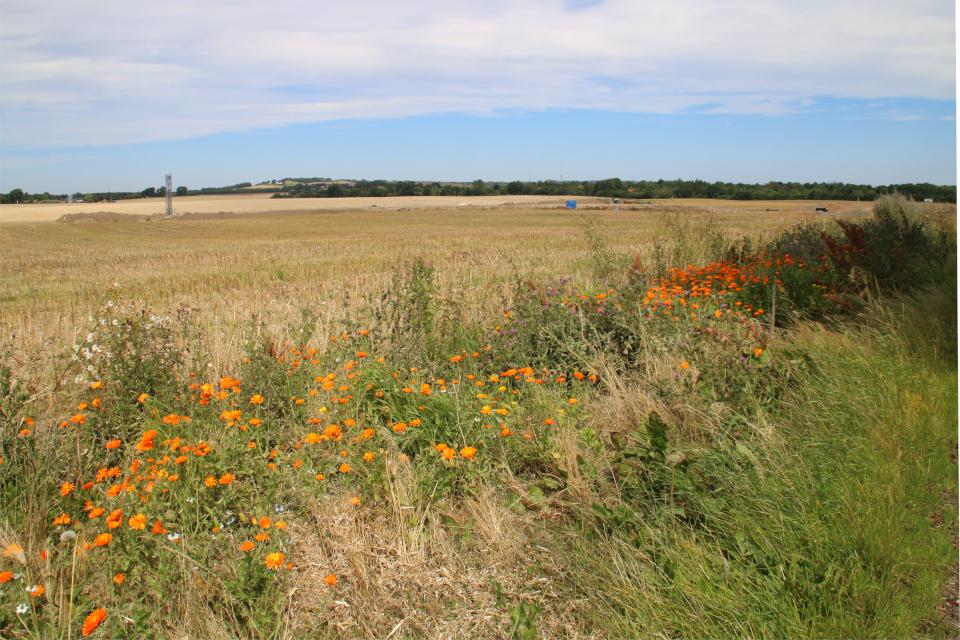 Край пшеничного поля с цветущей календулой