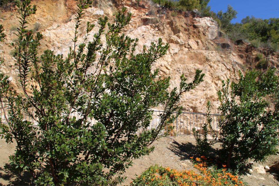 Земляничное дерево в горах по дороге к г. Михас / Mijas