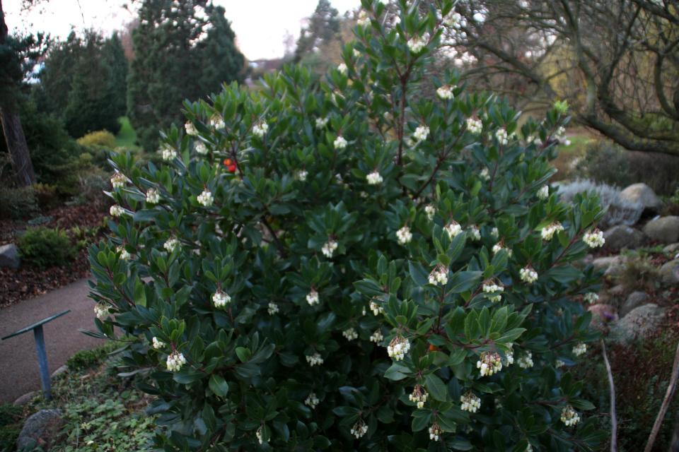 Кустик земляничного дерева с цветами и спелыми ягодами
