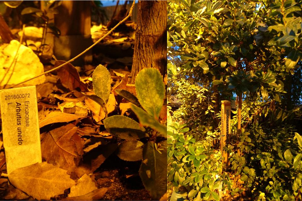 Теплица с растениями флоры Средиземноморья с земляничным деревом
