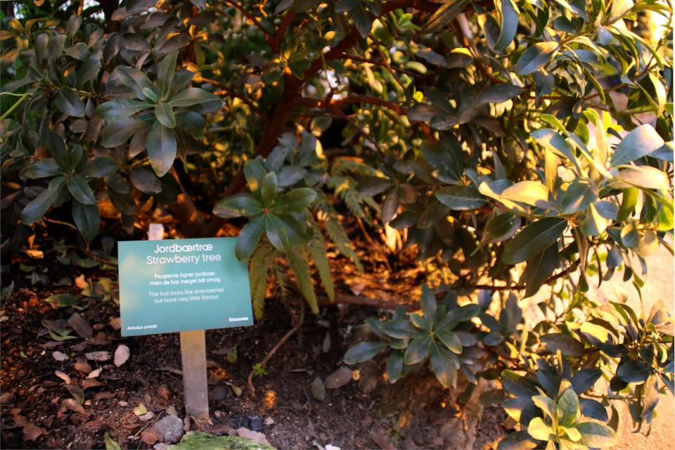 Земляничное дерево в ботаническом саду г. Орхус, Дания