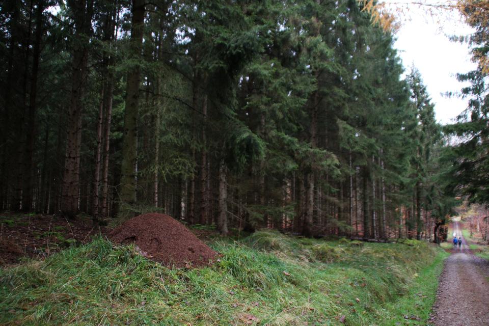 Муравейник в еловом лесу охотничьих угодий / Store Dyrehave, Дания