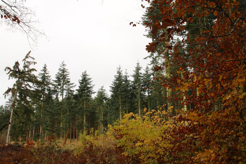 Лесопосадки пихт (в глубине) рядом с буковым лесом