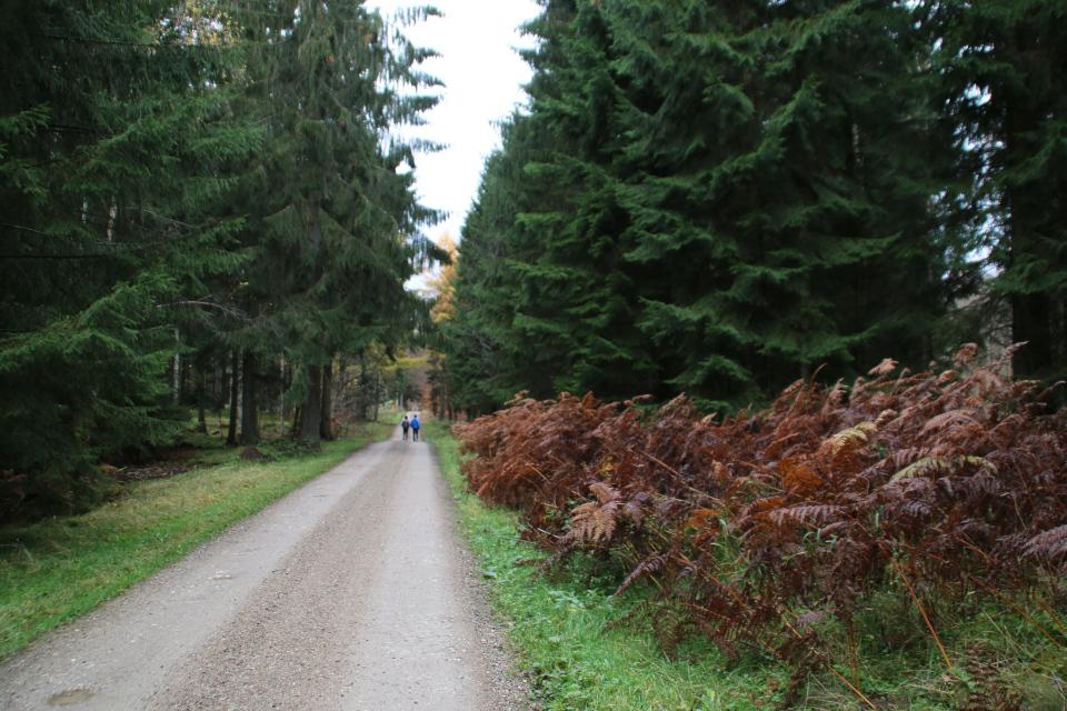 Лесопосадки хвойных деревьев и заросли папоротника орляк