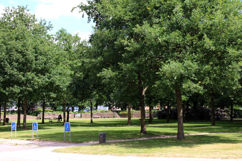 Полувековые дубы в городском парке Витуса Беринга в г. Хорсенс (Horsens), Дания. Фото 1 июля 2021