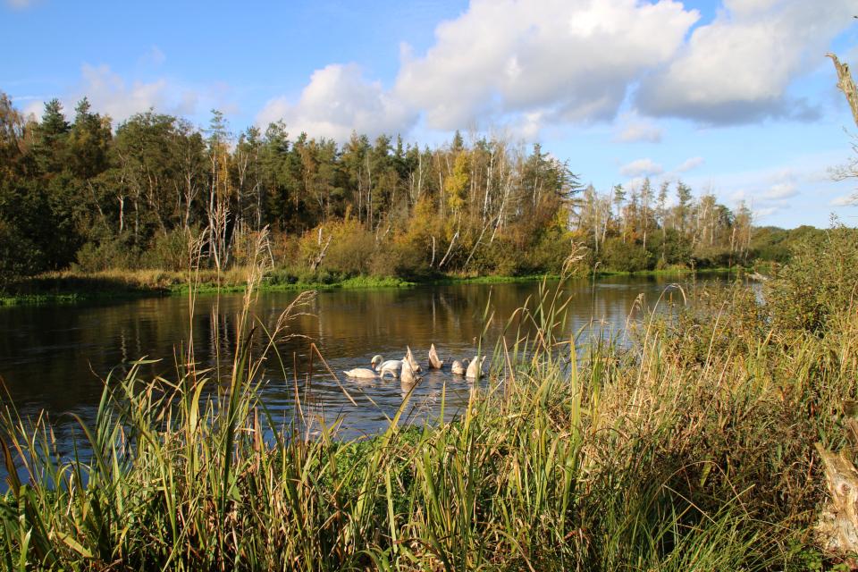 Лебеди на реке Гудено недалеко от деревни Охусе (Åhuse)