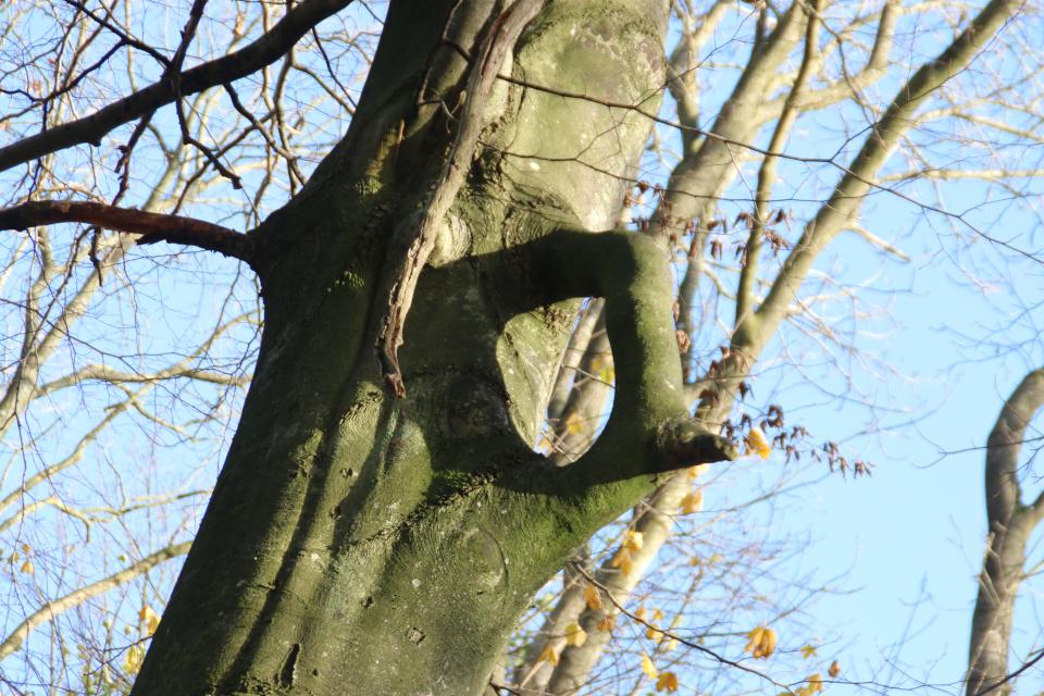Бук с кольцом в лесу Хёррет Дания, 22 нояб. 2020