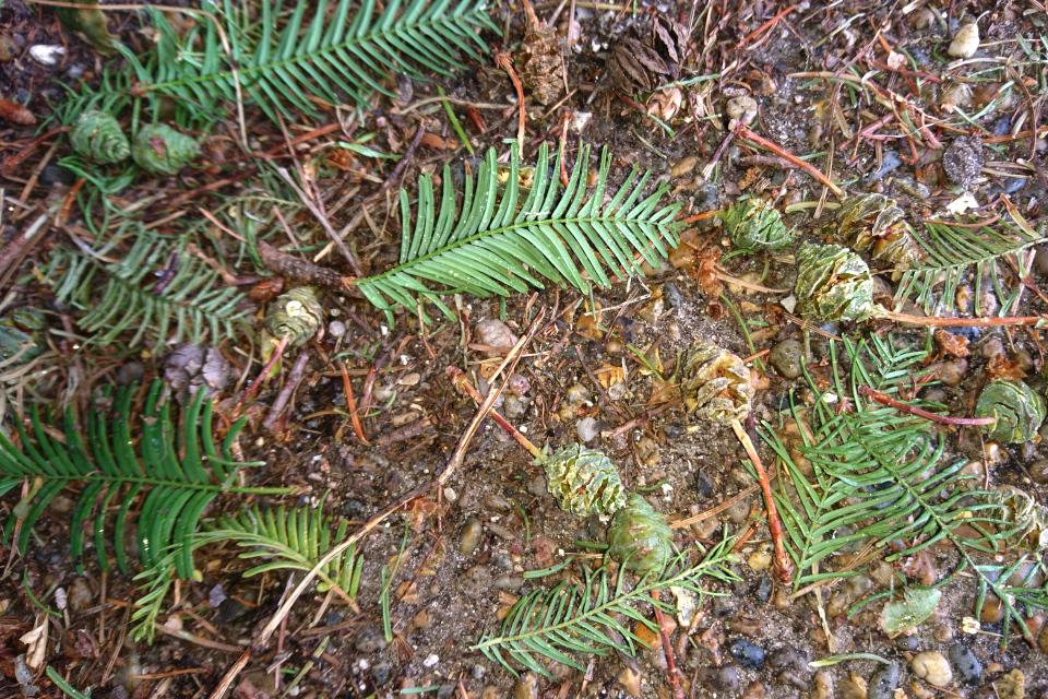 Опавшие недозрелые шишки метасеквойи, ботанический сад г. Орхус, Дания