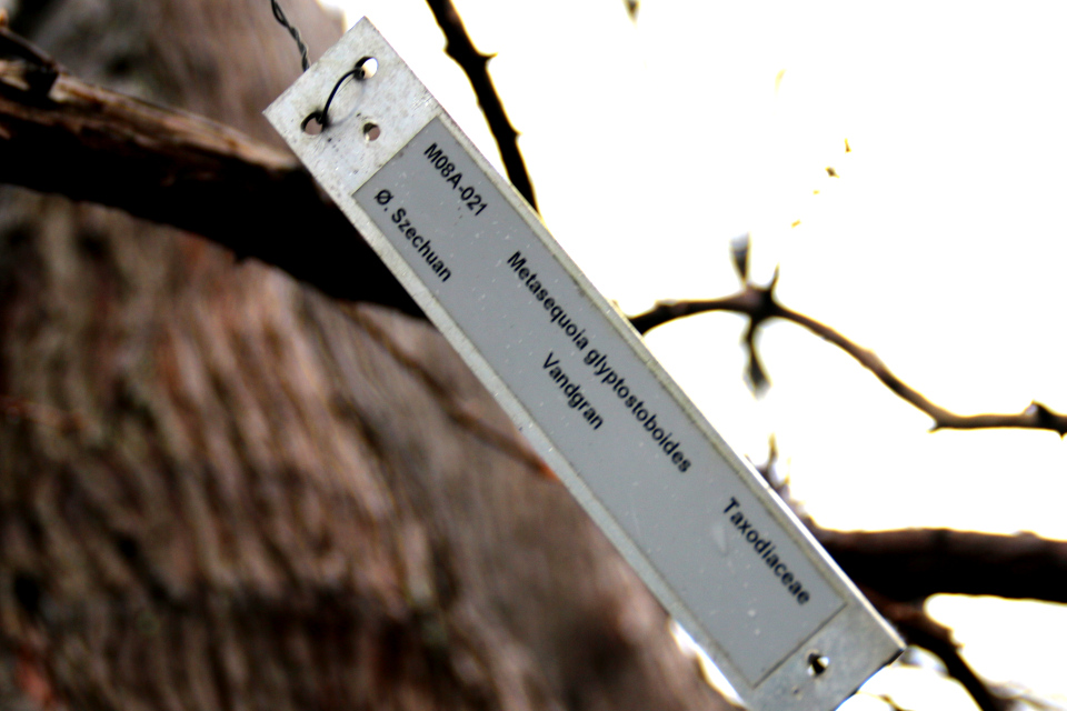 Табличка с латинским (Metasequoia glyptostroboides)