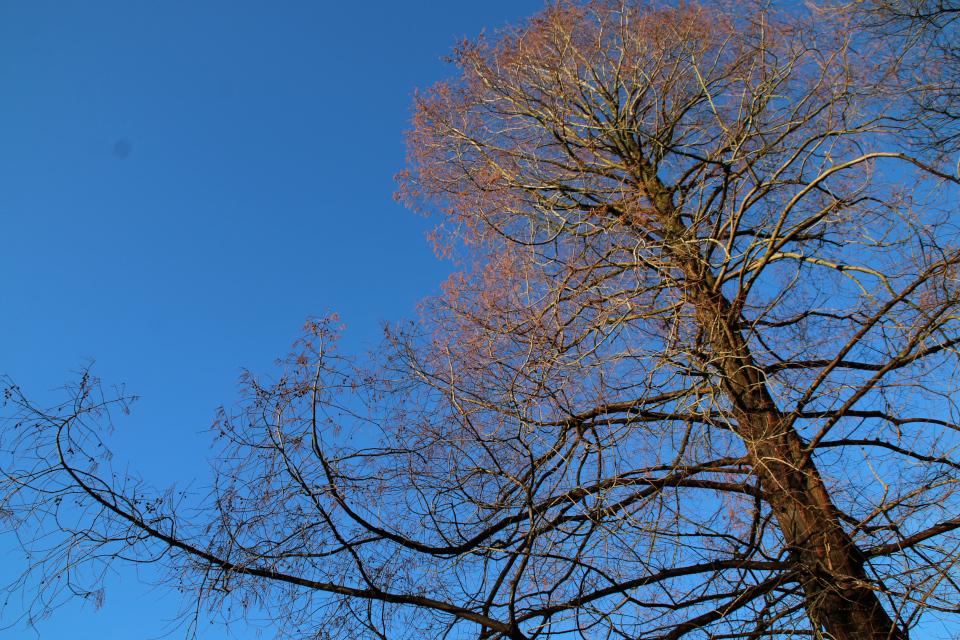 Метасеквойя зимой без хвои. Фото 1 янв. 2018, лесной ботанический сад